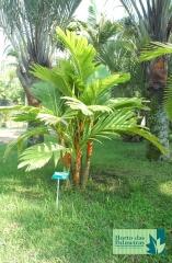 Palmeira Dourada
