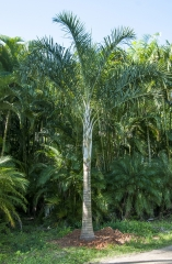 Dypsis Madagascariensis