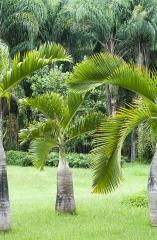 Palmeira Garrafa