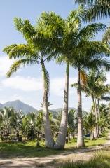 Palmeira Imperial Dupla