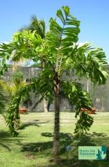 Palmeira Cariota de Espinhos