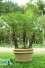 Tamareira de Jardim tripla