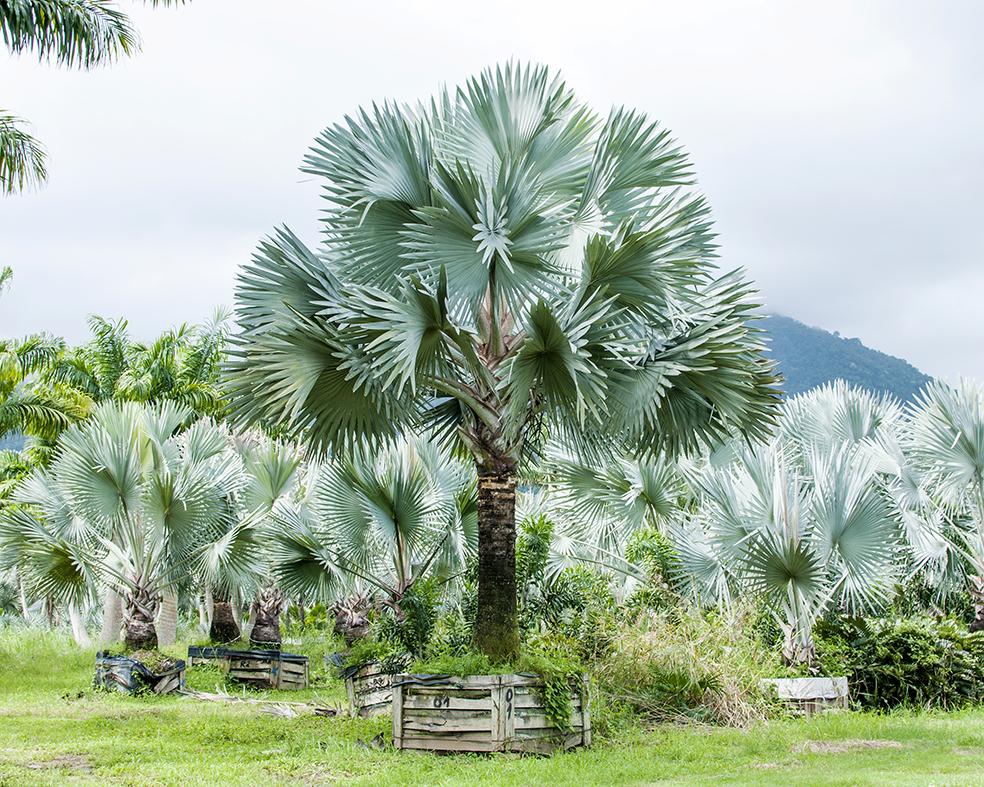 Palmeira Azul - Adulta Bismarckia Nobilis cb4fafa58d126
