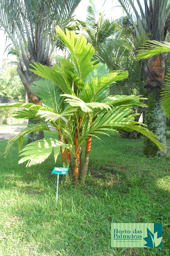 Palmeira Azul - Adulta Bismarckia Nobilis. Palmeira Dourada. Palmeira  Dourada Areca Vestiaria 2056ad96aba2d