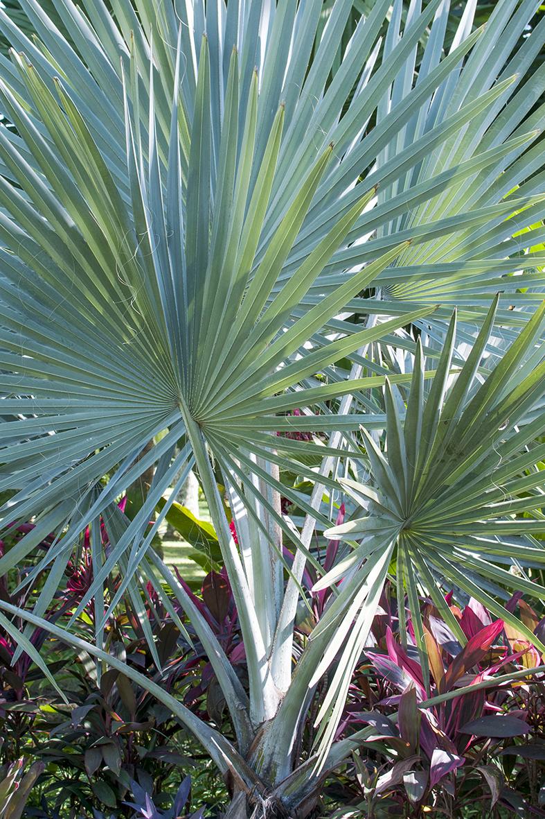 Palmeira Azul   Madagascar Bismarckia Nobilis f3658b69e80e9
