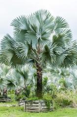 Palmeira Azul - Adulta