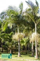 Palmeira Seafórtia / Austrália
