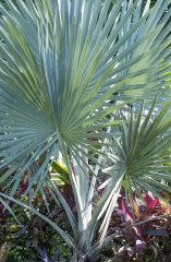 Palmeira Azul / Madagascar