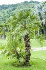 Palmeira Moinho de Vento / Mediterrâneo Ocidental