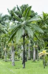 Palmeira Princesa / Ilhas Mascarenas , Maurícius