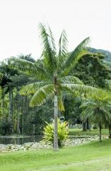 Palmeira Pescoço Marrom / Madagascar