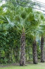 Palmeira Leque da China / China Central