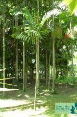 Palmeira de Salomão / Ilhas Salomão