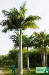 Palmeira Imperial / Antilhas e Norte da Venezuela