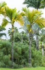 Palmeira Esplêndida / Ilhas Seicheles