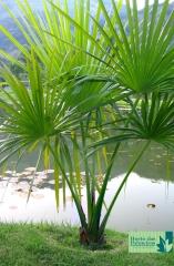 Palmeira Burití